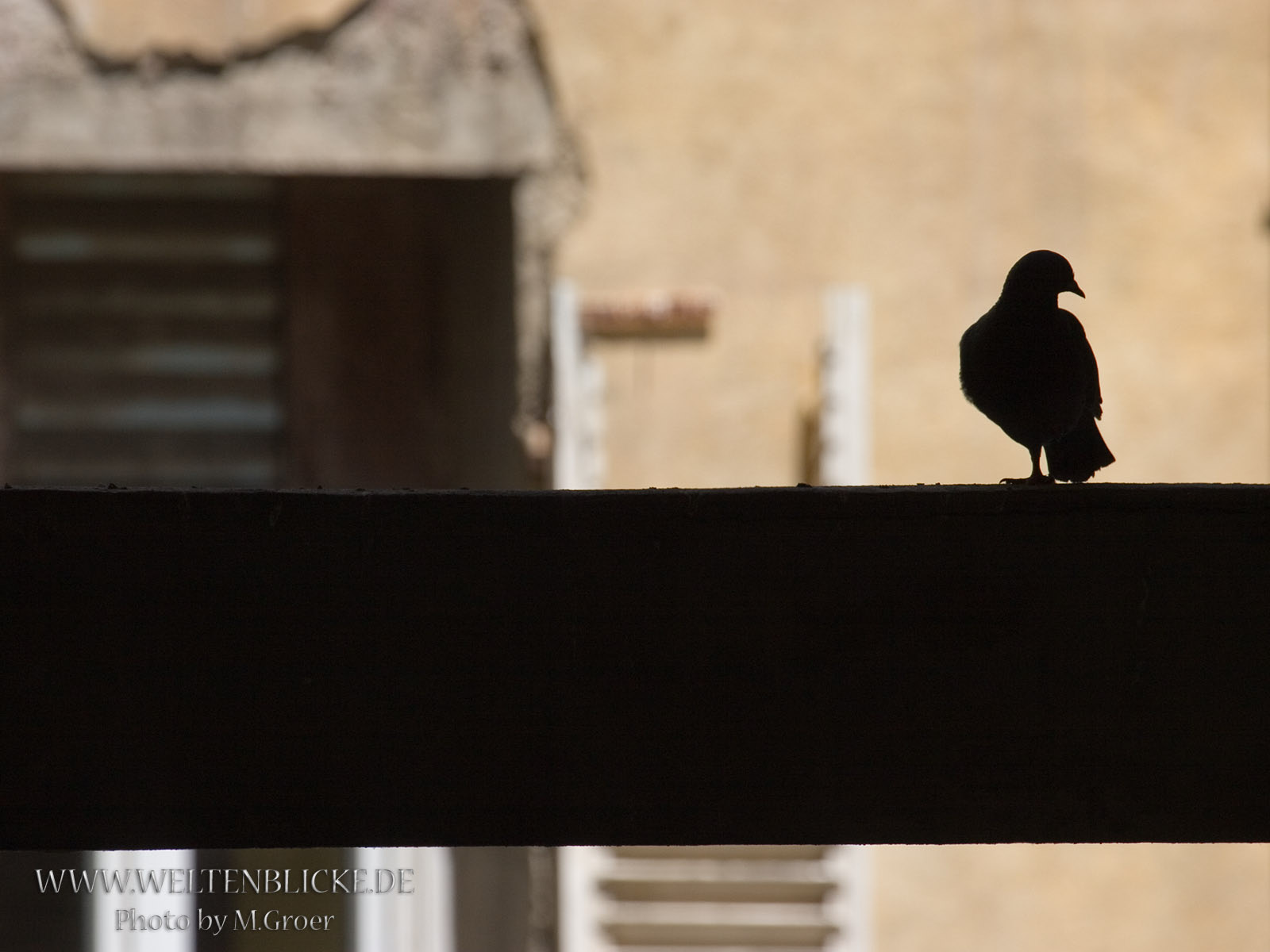 Korsika Taube Unterm Dach